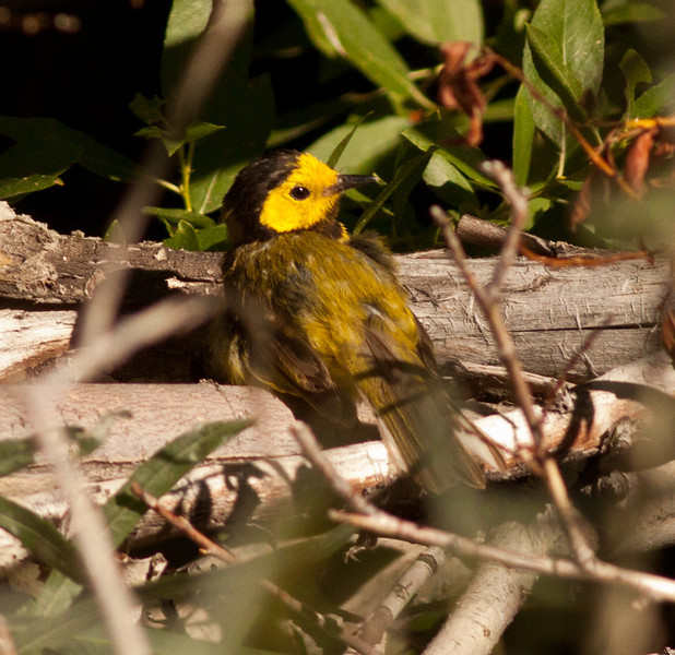 Hooded Warbler Wild Rose Canyon Ca. 2009 07 21-1.CR2