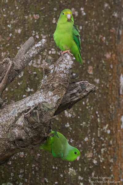 Green-rumped Parrotlet - Aripo Agricultural Station, Trinidad