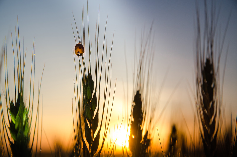 Ladybug on Ludlow Wheat.jpg