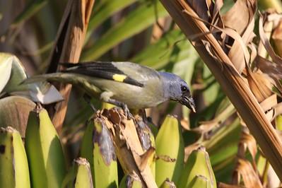 Guatamalan Birds