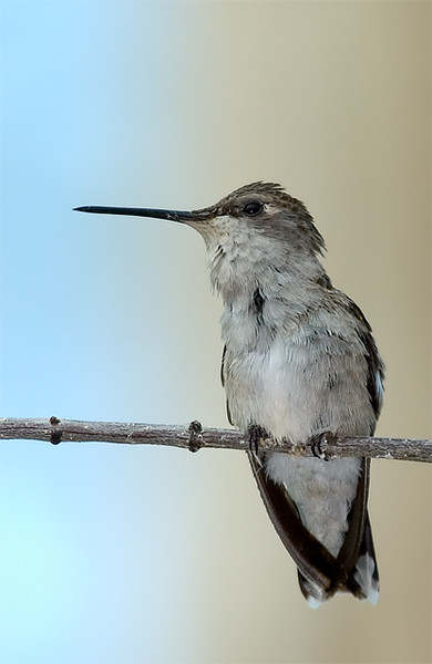 greenthroatedhummingbird_159324858_o.jpg