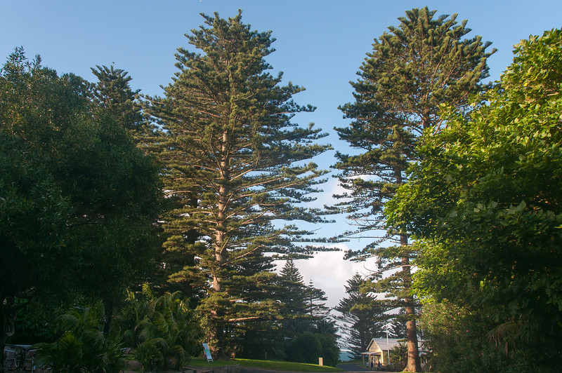Tall trees in Lord Howe Island