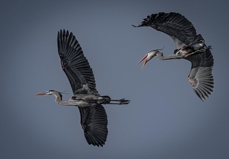 _5007615-Edit Great Blue Heron chase.jpg
