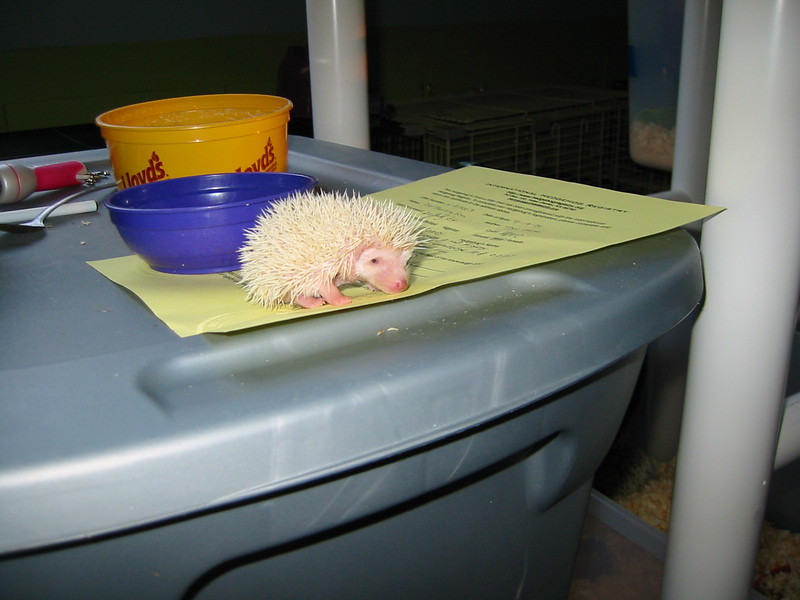 Litter - SCSI and Dixie Cup (06/30/2004)    Filename reference: 20040722-191618-HAH-Hedgehog_Babies