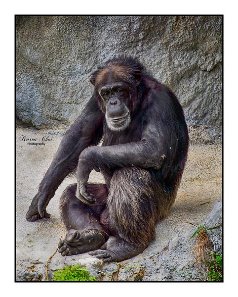 Chimpanzee sm.jpg