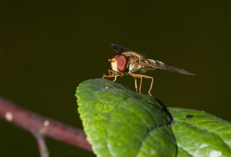 Male marmalade fly (episyrphus balteatus).