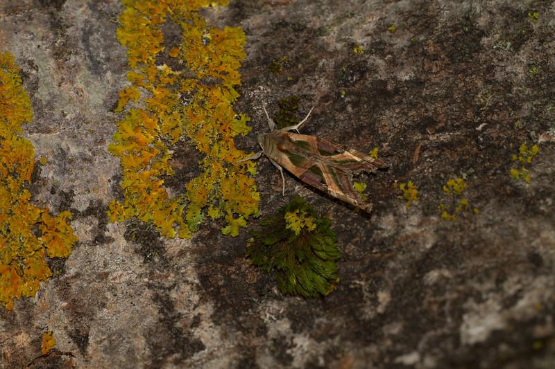 Phlogophora iris Olive Angle Shades 93-2291 9546 Family Noctuidae moth Skogstjarna Carlton County MN IMG_0518.jpg