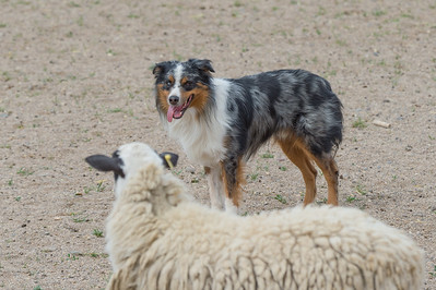 Sheep #6