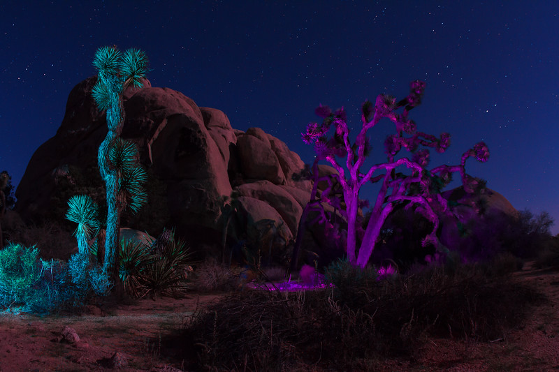 Light painted Joshua Trees
