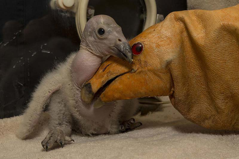 Description of . Wesa, a 2-week-old California condor, interacts with a puppet made to look like an adult condor at the San Diego Zoo Safari Park. (AFP/Getty)