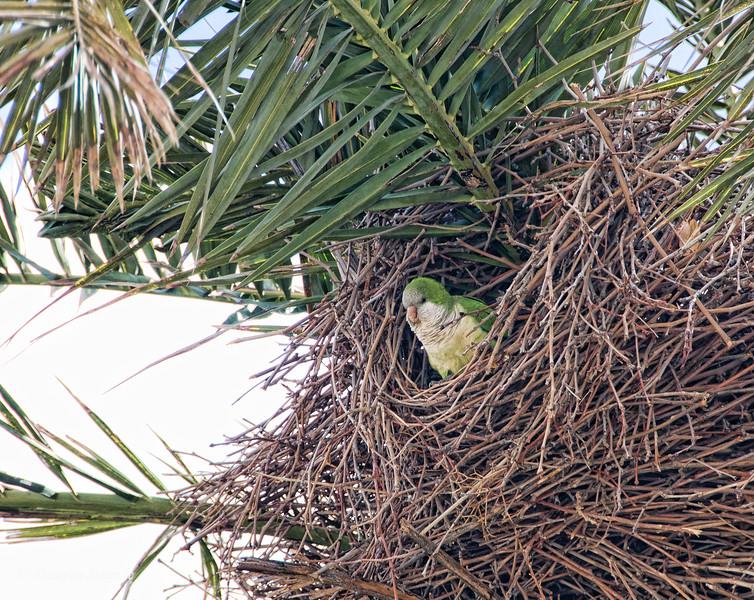 Sat 3/12 in Torremolinos (Costa del Sol): Noisy parakeet