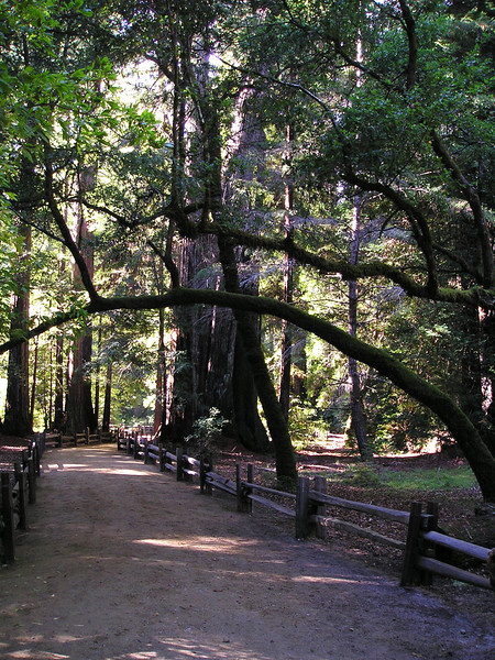 The short Redwood Trail has a self-guiding tour brochure available. Looking down the trail into the redwoods.