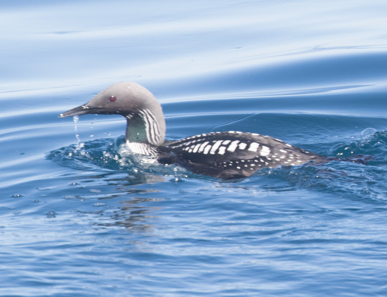 Pacific Loon San Diego Waters 2014 04 17-1.CR2