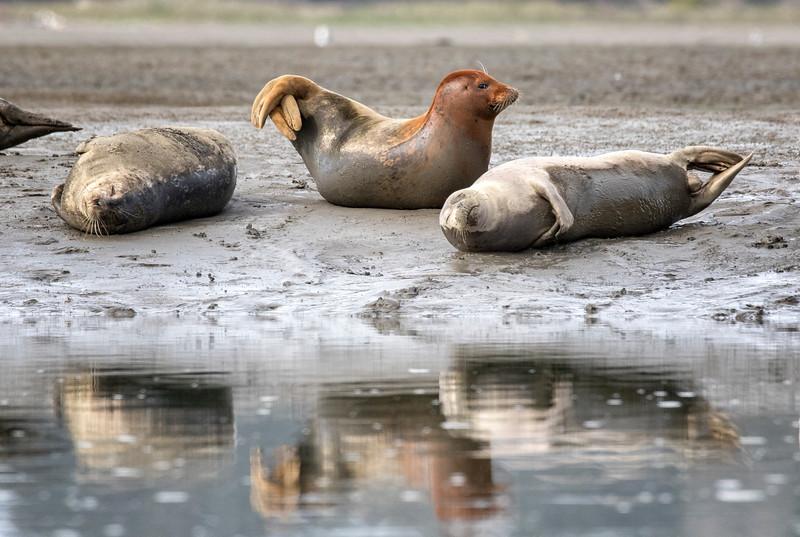 Pacific Harbor Seals Gallery