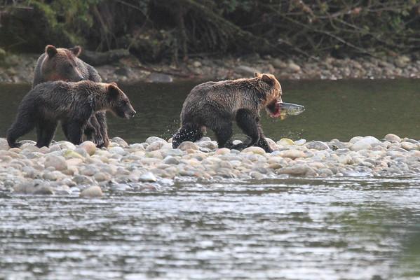 Brown Bear Eating Salmon Great Bear Lodge BC 2014