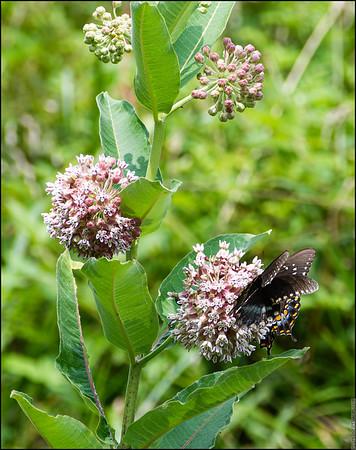 Black Swallowtail Butterfly 2021