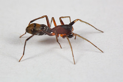 Ant-mimicking Swift Spider