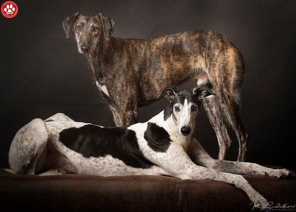 A Greyhound and Lurcher