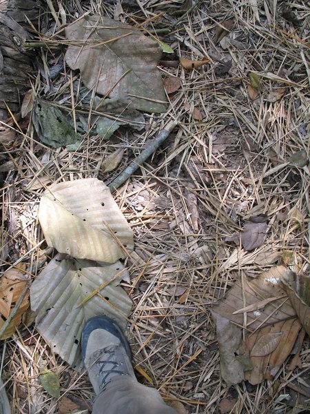 2006-12-17_12181 leaves big as feet Blätter so groß wie Füße hojas grandes como pies