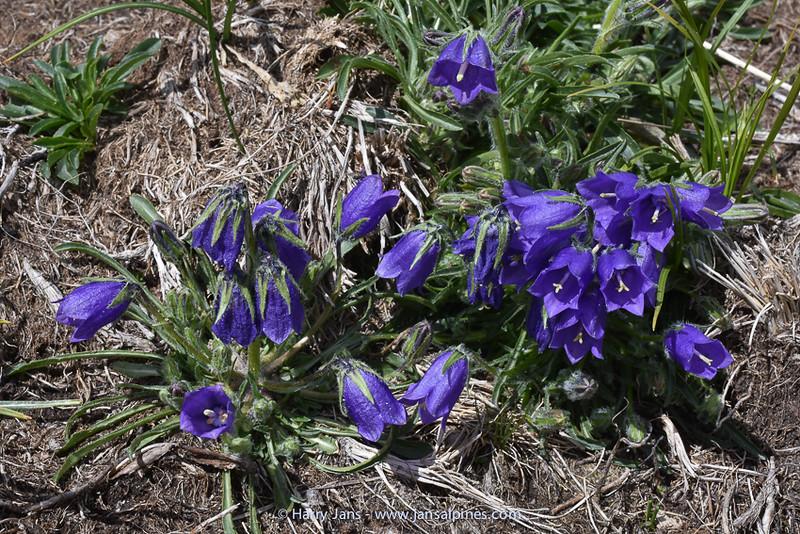 Campanula alpina ssp. orbelica