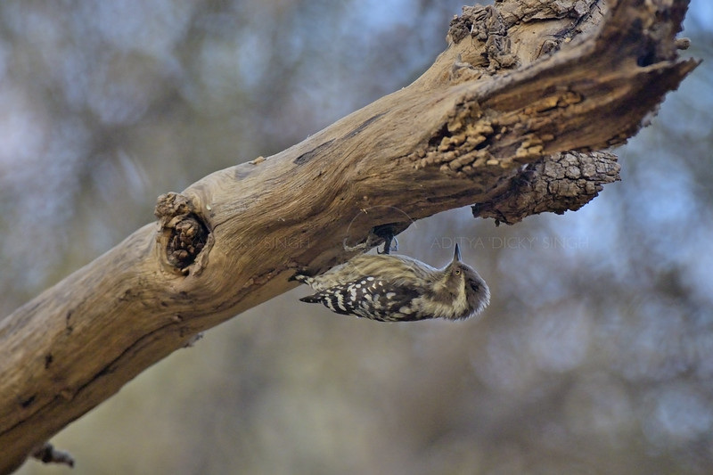 Brown-capped Pygmy Woodpecker (Dendrocopos nanus) on a tree trunk in Ranthambhore