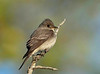 eastern wood pewee, spring plumage  DSC_0024