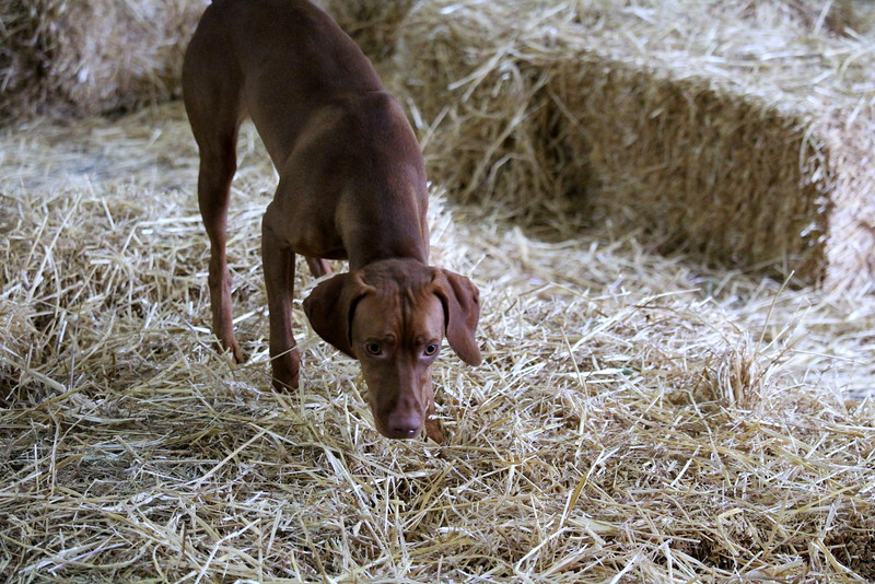 20160710 Winnegamie Barn Hunt Trial (45).JPG