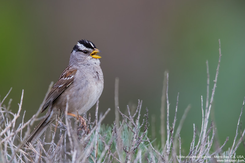 White-crowned Sparrow - Morro Bay, CA, USA