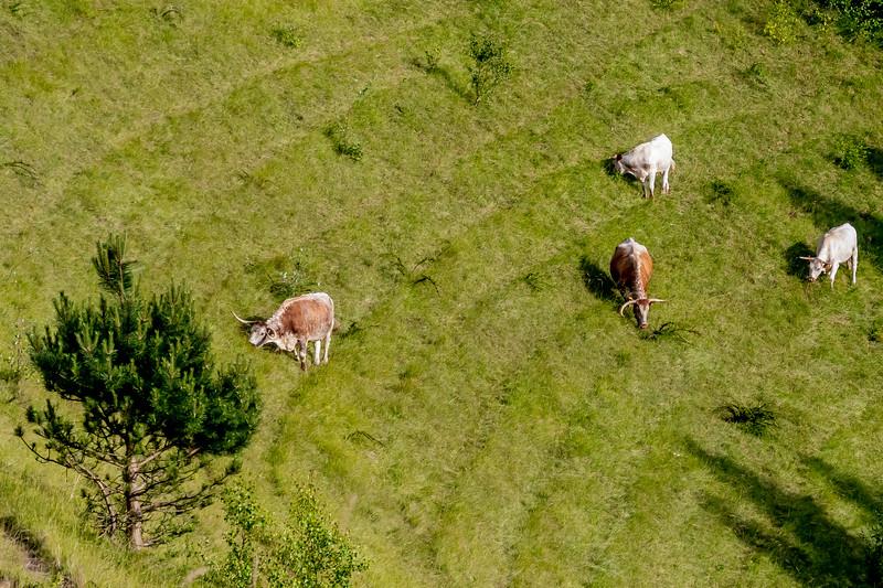 More Longhorns-5375.jpg