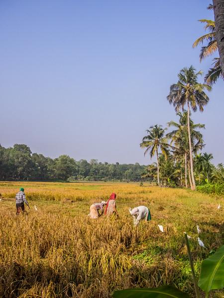 kerala rice field.jpg