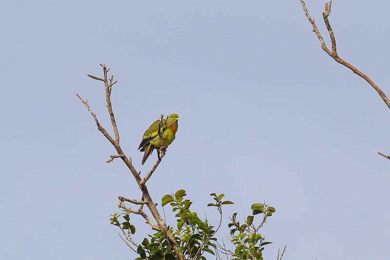 Orange-breasted Green Pigeon (Treron bicinctus)
