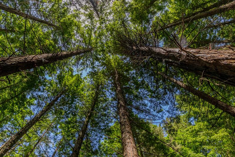 Redwood Trees im Whakarewarewa Forest