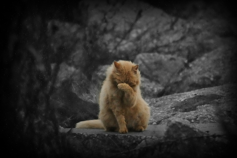 It has been especially misty and foggy on the Causeway all day today.  You couldn't even see the Battleship.  My Beloved and I stopped by a little open area where I saw some feral cats.  We caught this pretty one doing some preening.  It's not a very good photo.  I only got three shots before a dog ran up and made it scatter under the rocks.