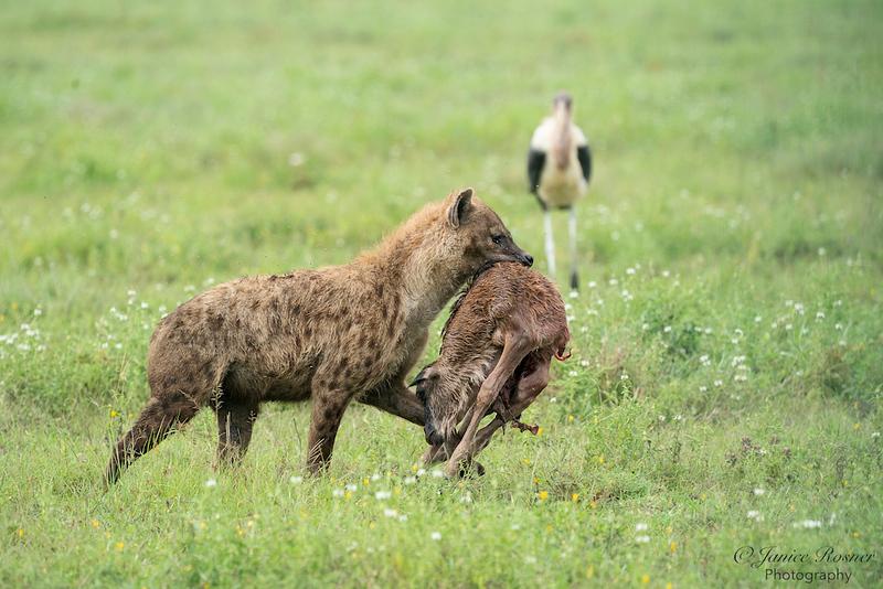 Hyena with Wildebeest