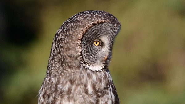 4-10-16 Video Great Gray Owl