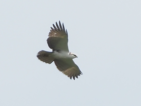 Rufous-bellied Eagle (juv)