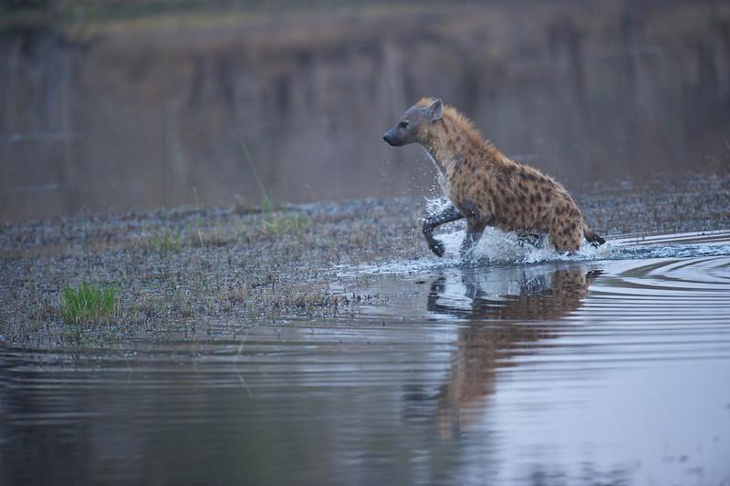 Hyena hunting African wild dog, Selinda Camp, Botswana