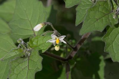 Morelles (Solanum)