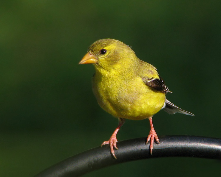 goldfinch_3437.jpg