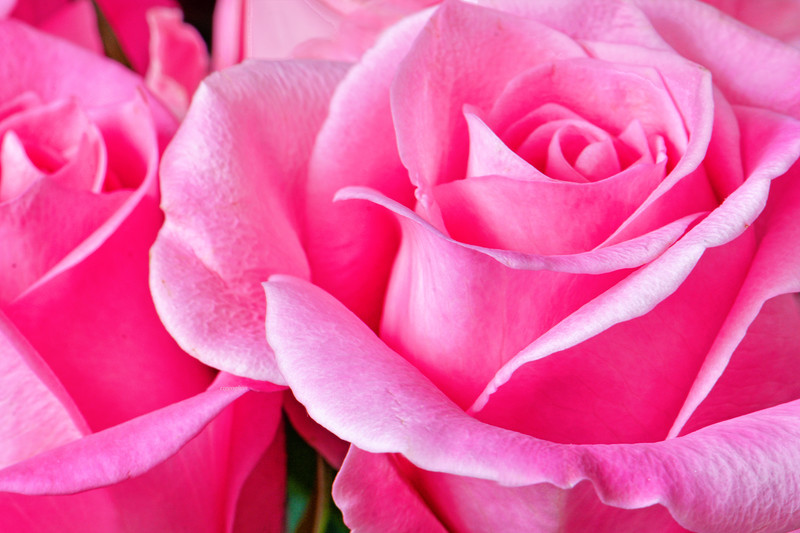Two Roses in Pink