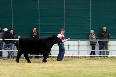 Intermediate Beef Showmanship