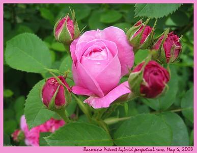 Roses - My Varieties