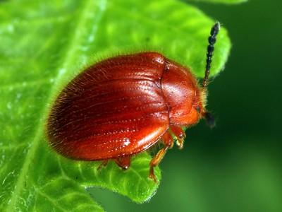 Endomychidae - Handsome Fungus Beetles