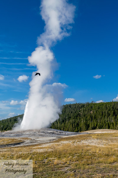 Old Faithful Bird