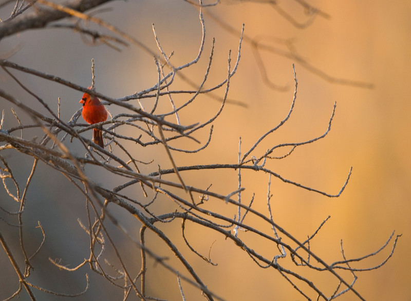 cardinal8688.jpg