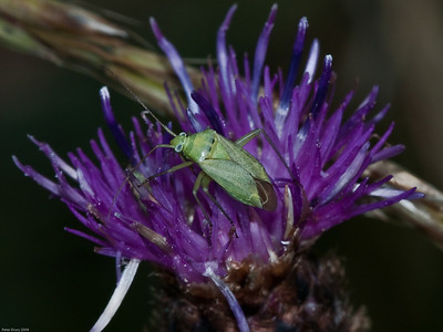 Common Green Capsid (Lygocoris pabulinus)