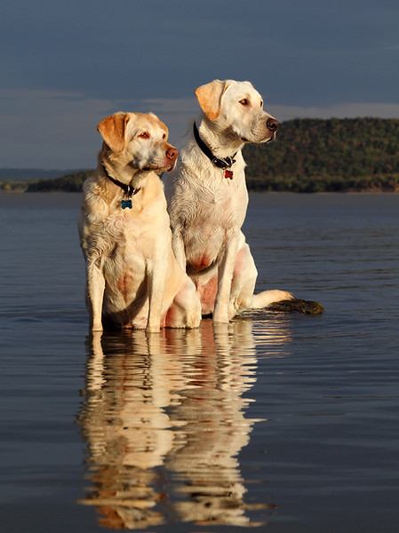 Labs On A Rock Looking Left.jpg