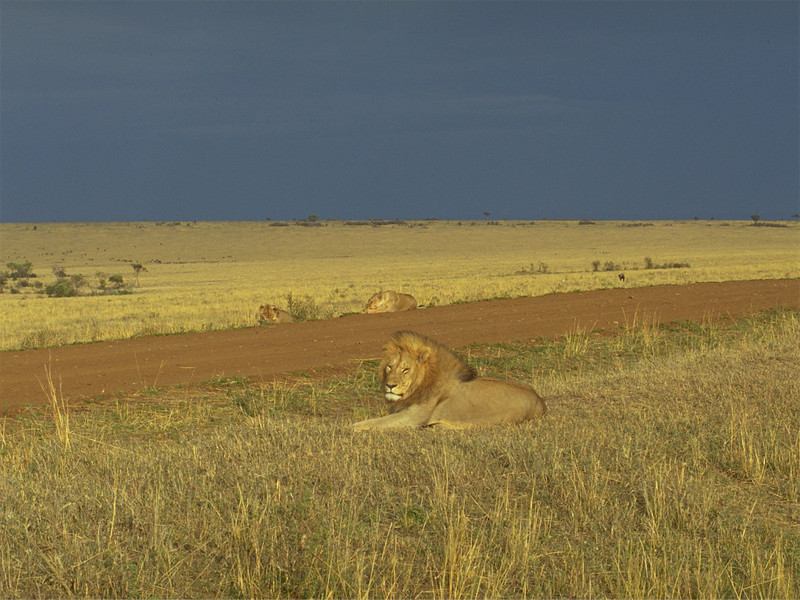 00972 Lion in wind.jpg