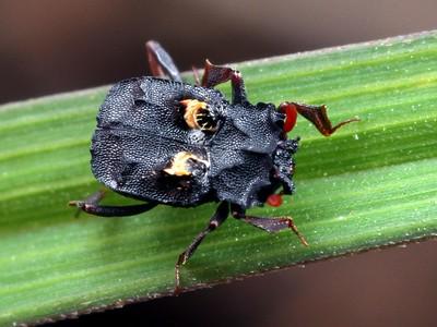 Histeridae - Hister Beetles