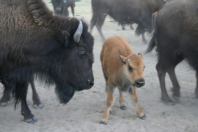 Black Forest Bison August 3, 2008